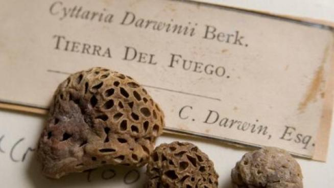 Specimen of Cyttaria darwinii