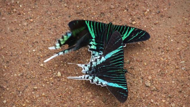 Image showing Urania leilus, the green-banded urania, day flying moth attracted by the salts and minerals in the soil