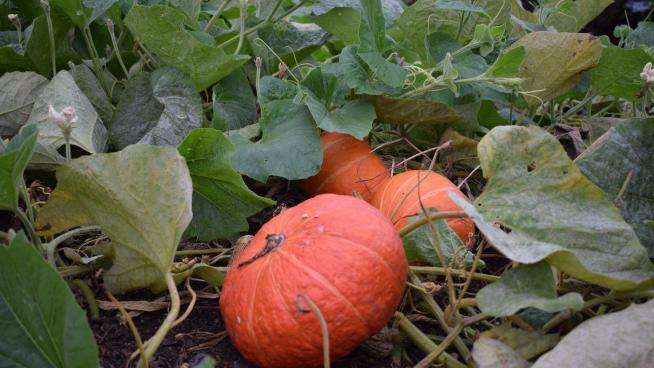 Orange pumpkins growing in the Kitchen Garden