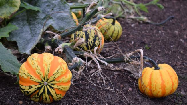 The pumpkin bed in the Kitchen Garden