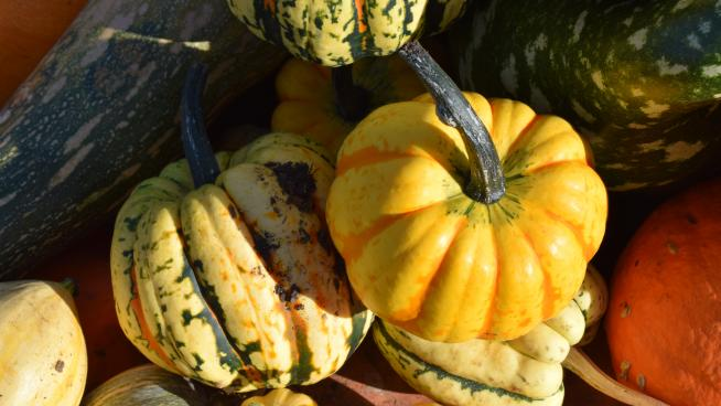 Yellow pumpkins in the Kitchen Garden