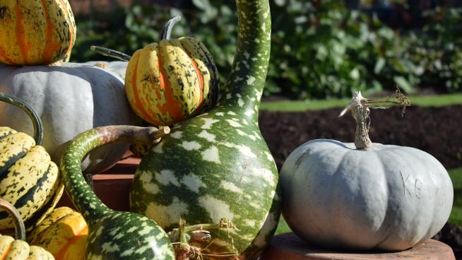 A gourd in the Kitchen Garden
