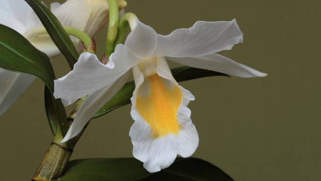 Dendrobium formosum (Image: Andre Schuiteman)