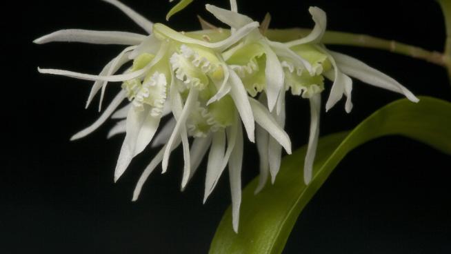 Dendrobium incurvum Lindl. (Credit: André Schuiteman)