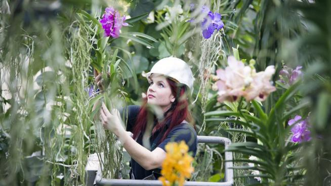 Kew horticulturist installing the Orchids Festival