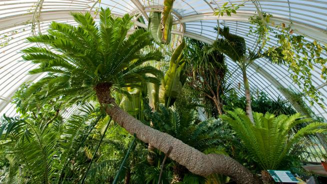 Encephalartos altensteinii in the Palm House