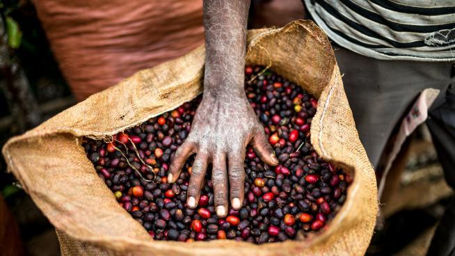 Freshly harvested coffee, Yayu, south-west Ethiopia