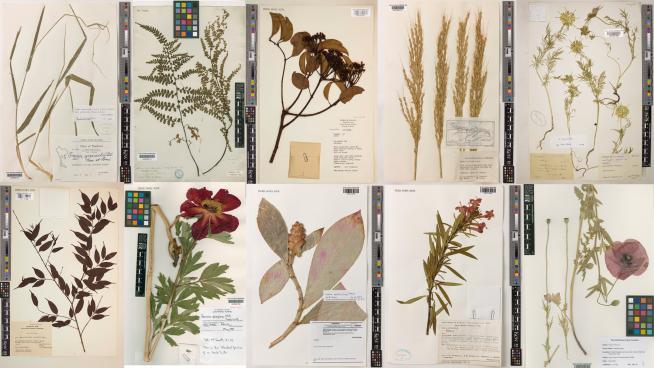 Image showing Digitised specimens from Kew's Herbarium
