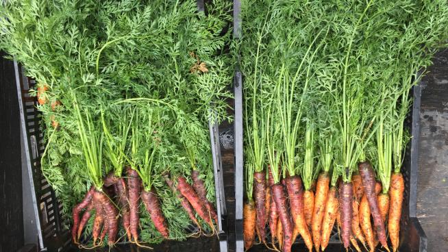 Carrots in the Kitchen Garden