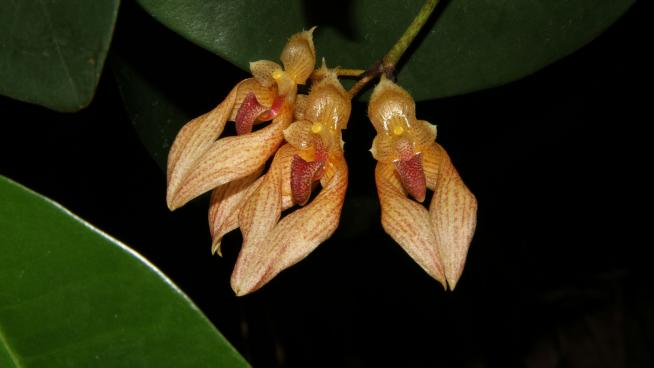 Bulbophyllum annandalei (Credit: Peter Gasson)
