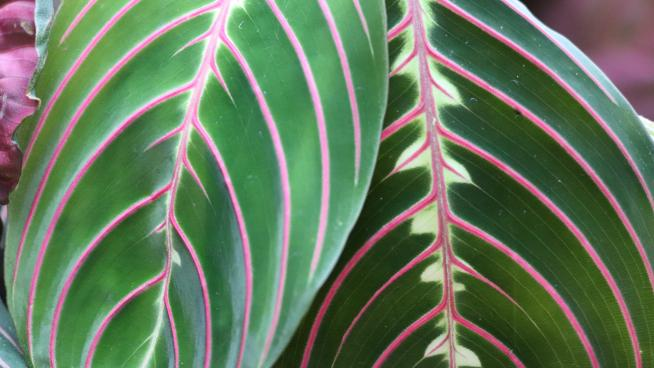 Prayer plant in the Princess of Wales conservatory
