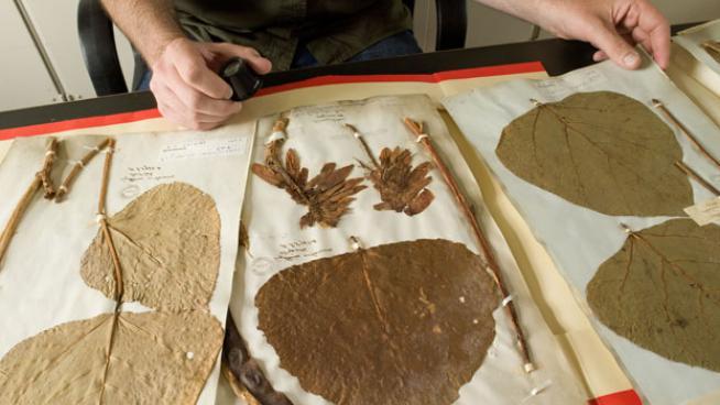 Scientist studying herbarium specimen