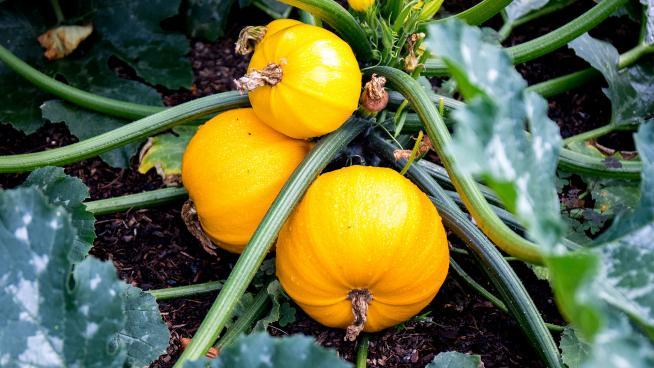 Oranges at the Orangery