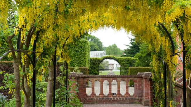 Laburnum arch at Kew