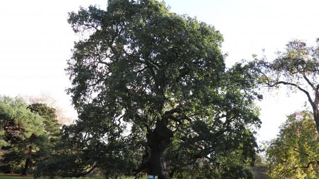 Lucombe oak tree (Quercus x hispanica 'Lucombeana')