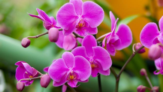 Moth orchid (Phalaenopsis)