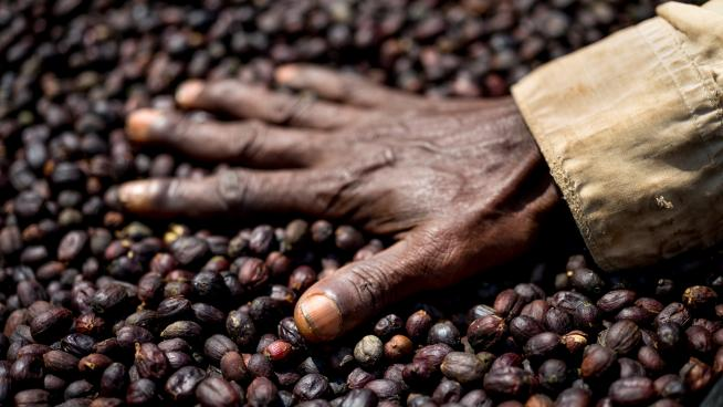 Naturally dried forest coffee, south-west  Ethiopia: Alan Schaller, Union Hand-Roasted Coffee