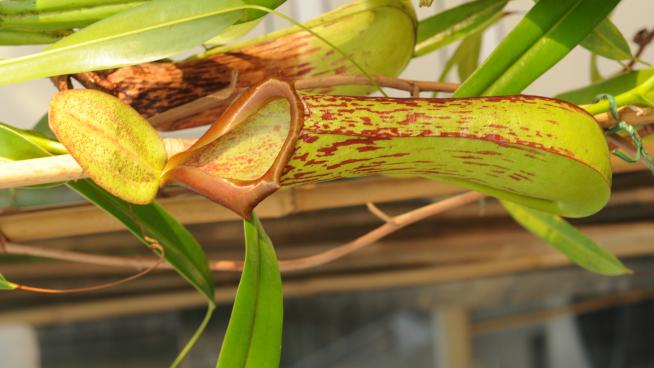 Nepenthes biak