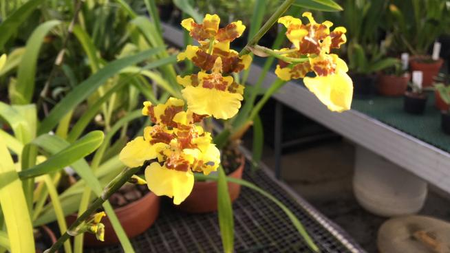 Oncidium altissimum (dancing-lady orchid) at Kew