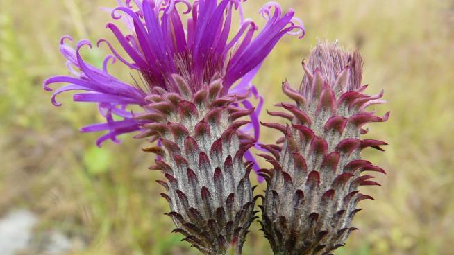 Image showing the winner for Moyenne Guinée: Vernonia djalonensis