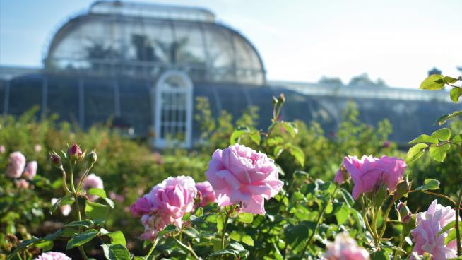 Palm House and pink roses