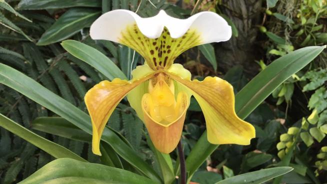 Paphiopedilum hybrid at Kew