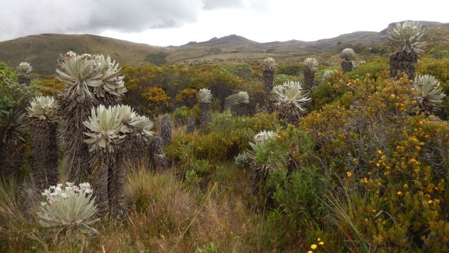 Image showing Páramo landscape, with Espeletia spp.