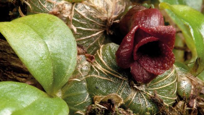 Porpax verrucosa from Kew Bulletin
