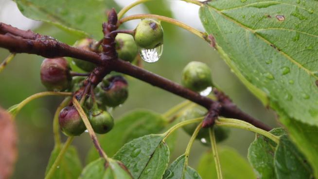 Under-ripe fruits of purging buckthorn