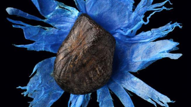 Ravenala madagascariensis seed