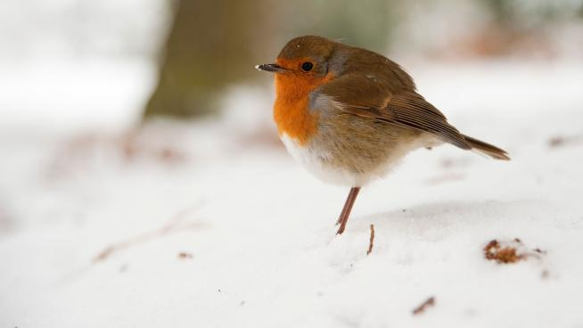 Robin in the snow at Kew