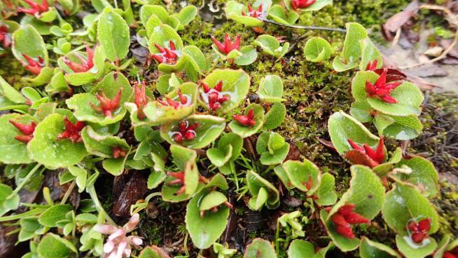 Image showing Salix herbacea