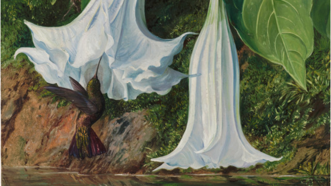 No.47 Flowers of Datura and Humming Bird, Brazil. Marianne North