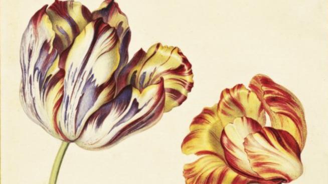 Tulips. Illustration by Simon Verelst (1644- c.1710)