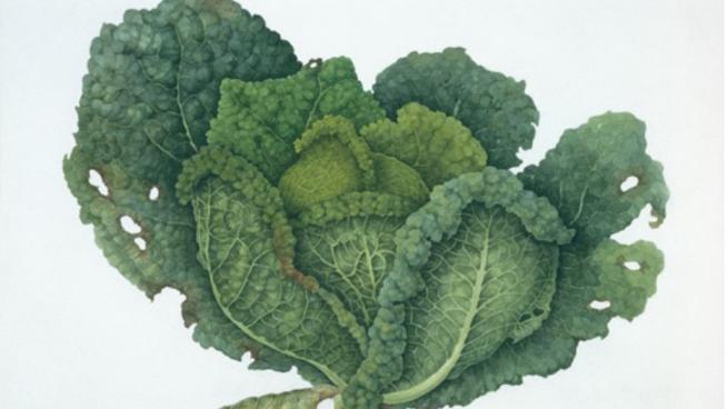 Savoy cabbage: Brassica oleracea by Katherine Manisco