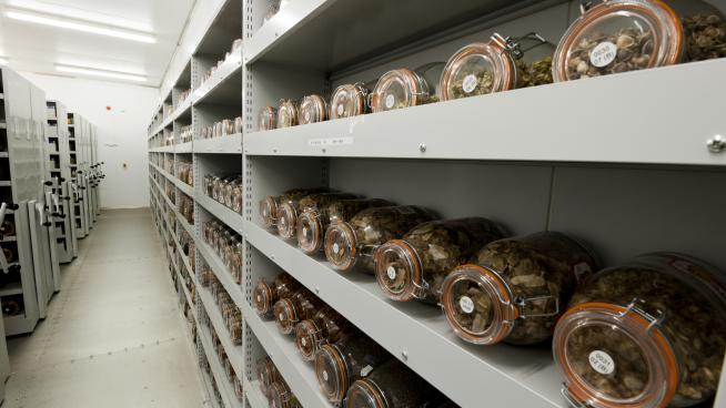 Seeds of crop wild relatives collected around the world are sent to the Millennium Seed Bank at Wakehurst, to be stored