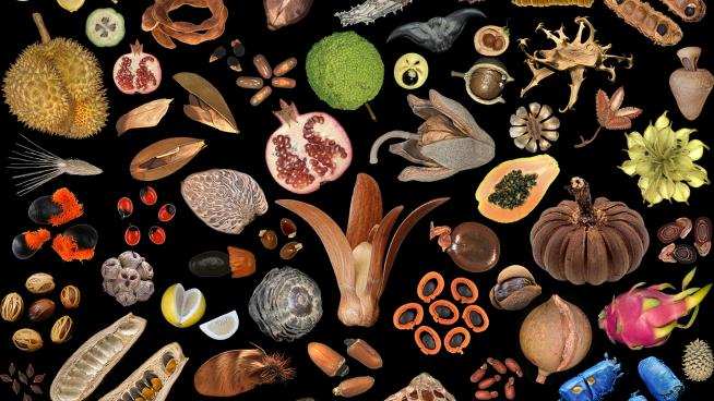 Seeds and fruits (Credit: Wolfgang Stuppy)