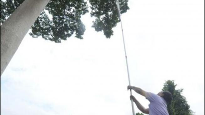 Collecting seeds from tall trees in Thailand
