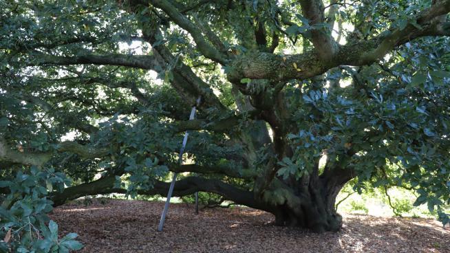 Turner's oak (Quercus x turneri)