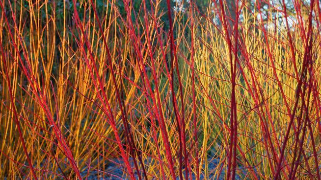 Dogwood provides striking winter colour at Kew