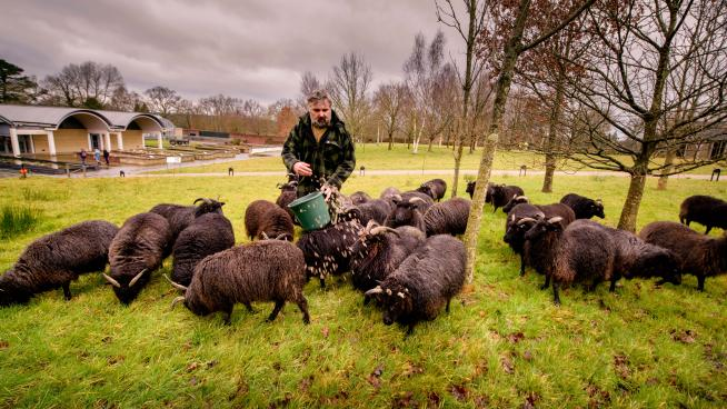 Hebridean sheep roaming the fields at Wakehurst