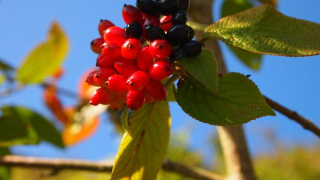 Close up of red and black berries on a wayfaring tree