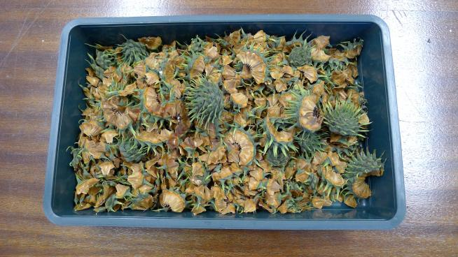 A tray full of Wollemi pine cones.