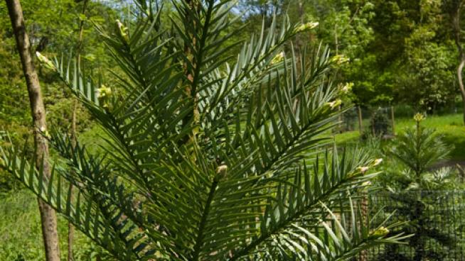 Wollemi Pine. Spring