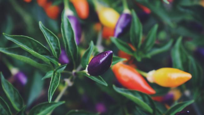 Chilli peppers in the Kitchen Garden