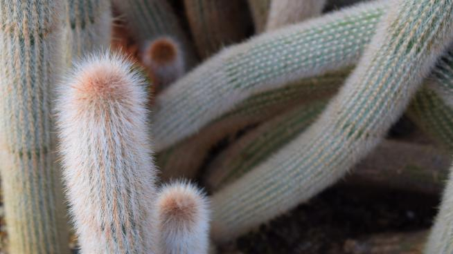 Cacti in the Princess of Wales Conservatory