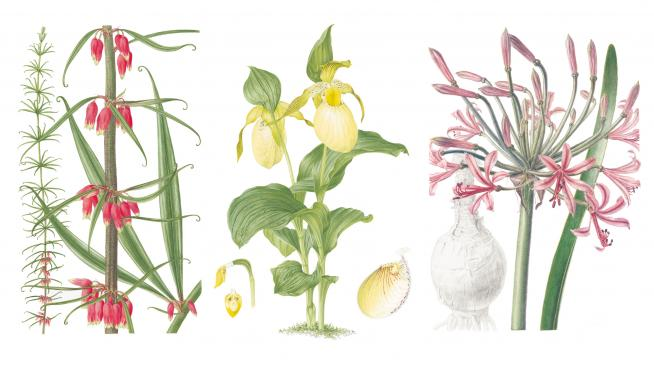 Colour plates from Curtis's Botanical Magazine