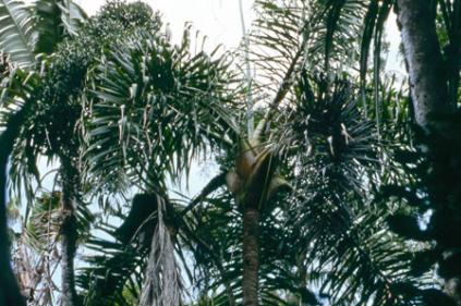 Dypsis tokoravina in Madagascar