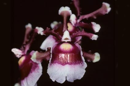 Oncidium fuscatum