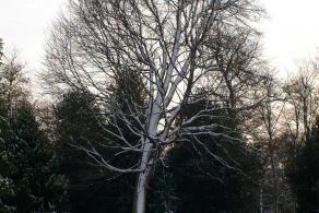 Image of Sorbus torminalis in the snow